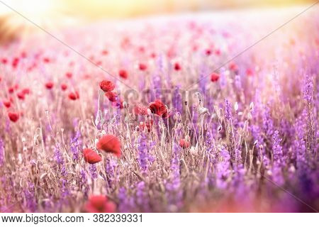 Beautiful Meadow Landscape, Flowering Poppy Flower And Purple Flower, Meadow Flowers Lit By Sunlight