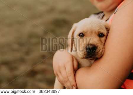 The Puppy Labrador Lies In The Arms Of A Childs Boy