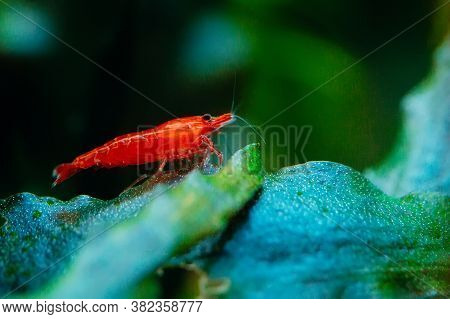 Big Fire Red Or Cherry Dwarf Shrimp With Green Background In Fresh Water Aquarium Tank.