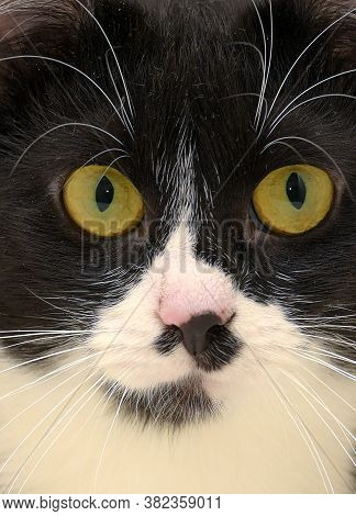 Black And White Shorthair Cat With Yellow Eyes