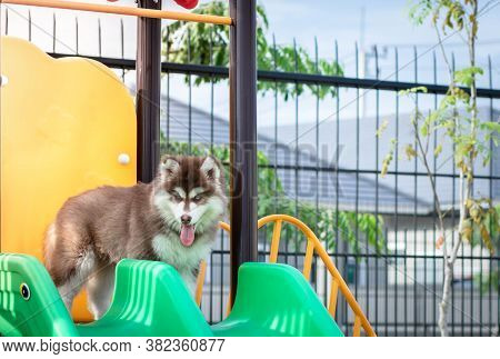 Cute Siberian Husky Puppy In The Playground. Dog Jumps On The Playground..
