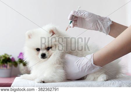 A White Fluffy Pomeranian Puppy Is Held By One Gloved Hand, While The Other Hand Holds A Syringe Wit