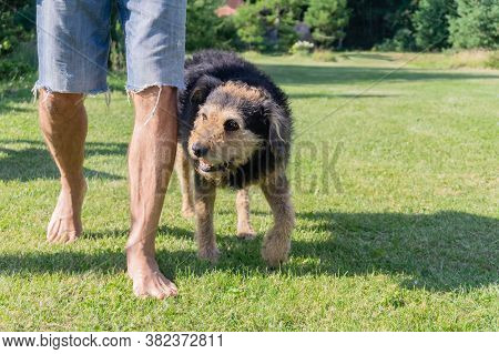 Man Walking With His Senior Dog On Grass. Human Legs In Jeans Shorts And Old Shaggy Dog In Meadow. A