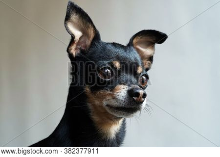 Little Cute Toy Terrier Dog Looking Straight, Isolated On White Background,close-up