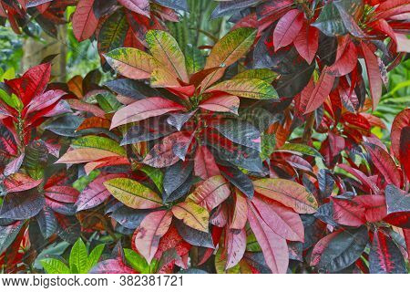 Croton Tropical Shrub With Motley Variegated Striped Leaves