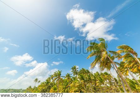 Coconut Palm Trees Under A Blue Sky With Clouds In Guadeloupe, French West Indies. Lesser Antilles,