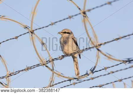 Northern Shrike Bird At Vancouver Bc Canada, Close To Yvr