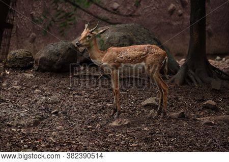 An Innocent Baby Of Endangered Deer And Black Buck.