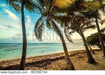 Coconut Palm Trees In Bois Jolan Beach At Sunset, French West  Indies. Lesser Antilles, Caribbean Se