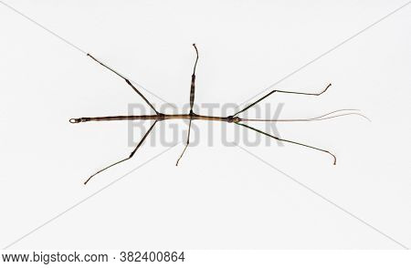 Four Inch Walking Stick Insect on White, Ohio, USA