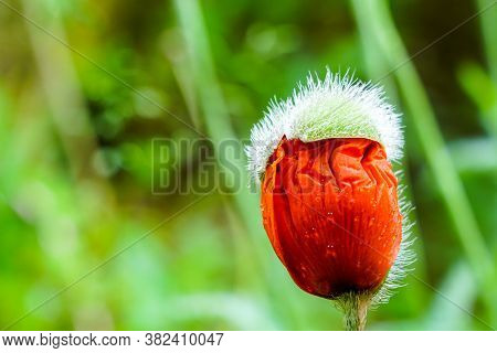Almost Bloomed Poppy Flower Bud On Green Blurred Background