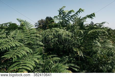 Dense Thickets Of Ferns In The Forest. Wild Forest Green Densely Growing Plant. Green Bushes And A B