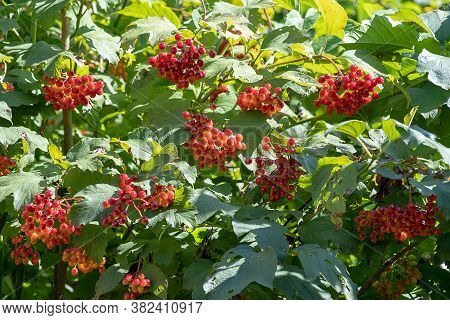Red Ripe Berries Of Viburnum. Guelder Rose. A Branch Of Red Viburnum In The Garden Or In The Forest.