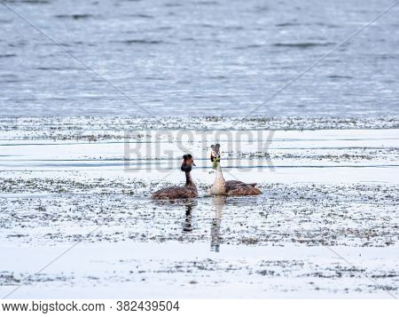 Mating Games Of Two Water Birds Great Crested Grebes. Two Waterfowl Birds Great Crested Grebes Swim