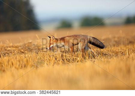 Red Fox (vulpes Vulpes) On A Freshly Mown Stubble.young Rusty Fox Running Across A Field With Mown G