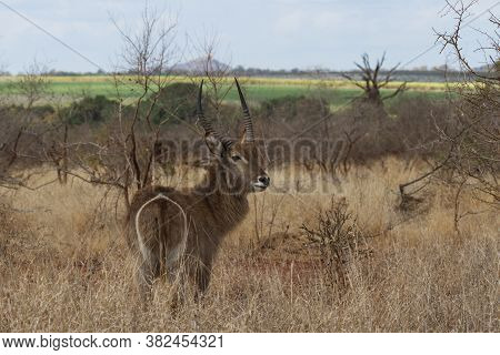 Male Waterbuck (kobus Ellipsiprymnus) Grazing In A Field In Kruger National Park, South Africa
