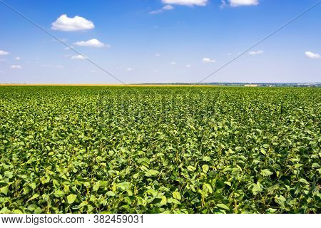 Green Leaves And Beans Of Young Soybeans In The Field