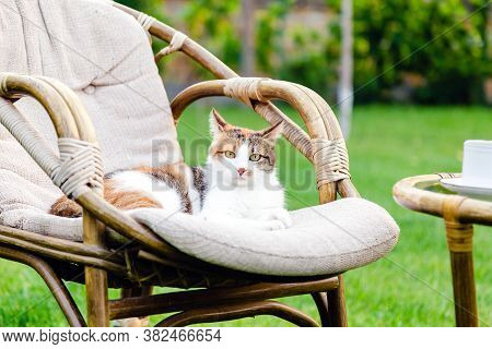 Relaxing White Ginger Cat Laying On Chair In Garden Outside On Hot Summer Days. Garden Landscape Wit