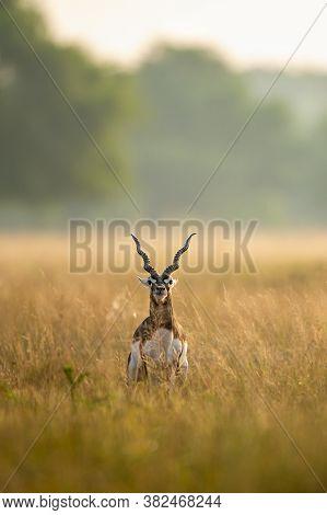 Big Horned Wild Male Blackbuck Or Antilope Cervicapra Or Indian Antelope In Early Morning Golden Hou