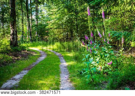 Landscape Colorful Sunny Forest With Trail, Trees, Plants And Blooming Foxgloves