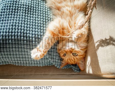 Top View On Cute Ginger Cat Lying On Pillow. Fluffy Pet Is Playing With Dried Grass. Cozy Home Lit W