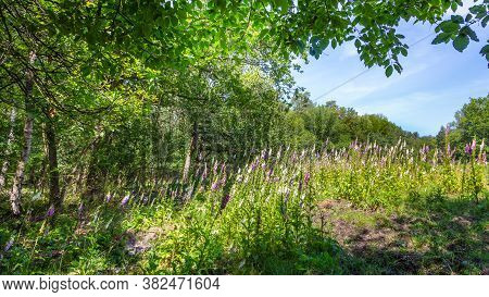 Landscape Colorful Sunny Forest With Treess, Plants And Purple Blooming Foxgloves