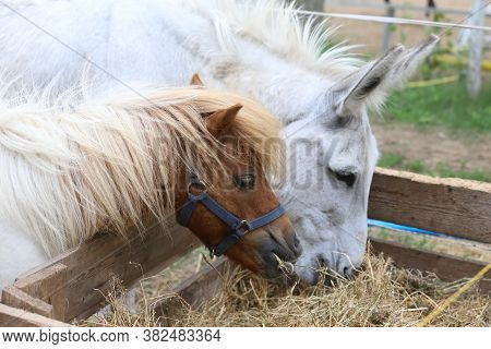 Pony Horse And Donkey Eating Hay In Summer Corral Between The Hay Which Has Been Laid Out For To Eat