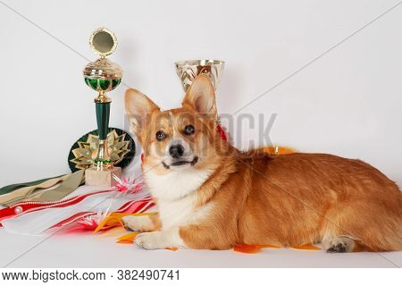 Cute Welsh Corgi Pembroke Dog Lying With Dog Show Caps And Trophies Background, Looking To The Camer