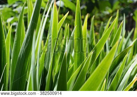 Iris Green Long Sward Shaped Leaves Background. Iris Plant Before Blooming In Spring.