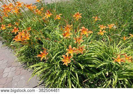 Border Of Flowering Orange Hemerocallis Fulva In June