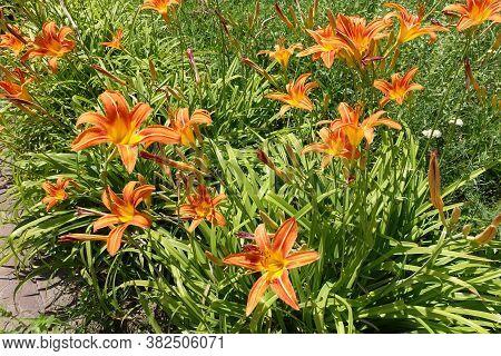 Dozen Of Orange Flowers Of Hemerocallis Fulva In June