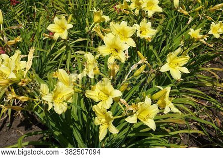 Numerous Yellow Flowers Of Hemerocallis Fulva In June