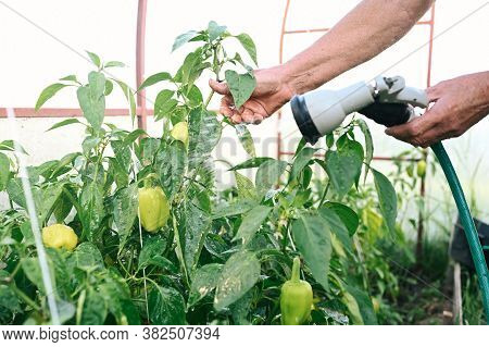 Elderly Senior Hands Watering Plants With Hose In Garden Greenhouse. Drops Of Water On Unripe Bell P