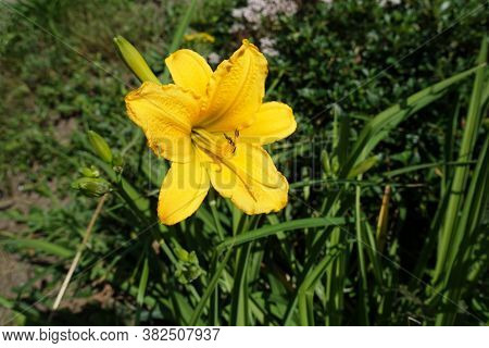 Yellow Flower Of Hemerocallis Fulva In June