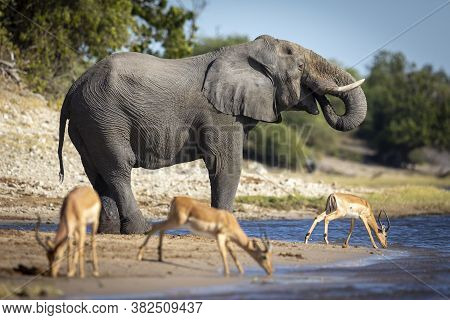 Thirsty Elephant Drinking Water With Three Impala Standing Next To Him In Chobe River In Botswana