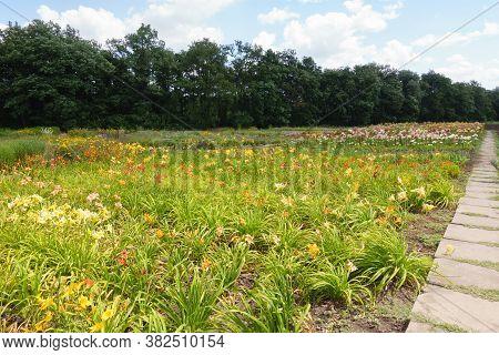 Numerous Colorful Flowers Of Hemerocallis Fulva In The Garden In June
