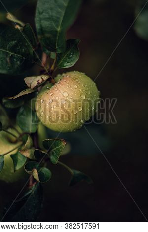 Apples And Green Leaves On Branch With Drops Water After Rain. Selective Focus