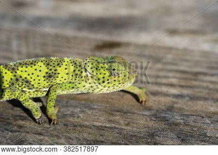 Closeup Of A Chameleon Sitting On A Wooden Board On The Island Of Zanzibar, Tanzania, Africa