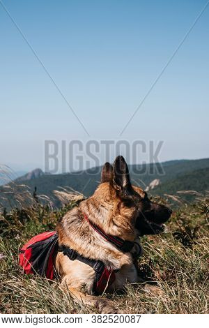 A German Shepherd Is Traveling With A Red Backpack. A Beautiful Thoroughbred Dog Lies In The Grass A