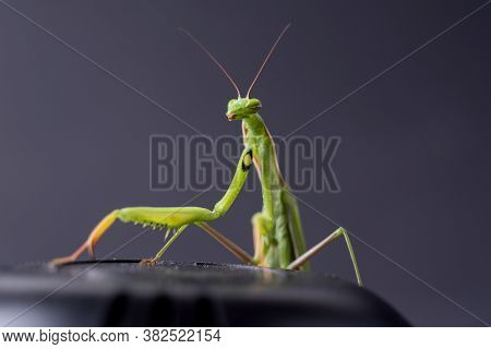 European Praying Mantis Female Or Mantis Religiosa Close Up Against Dark Background. Large Predatory