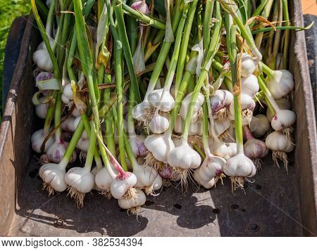 Harvesting Garlic. Fresh Clean Garlic Heads With Leaves In Garden Wheelbarrow.