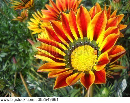 A Yellow Orange Gazania Flower Side View, Big Flower In The Garden