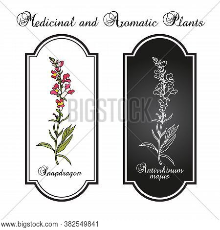 Snapdragon Antirrhinum Majus , Or Dragon Flowers, Medicinal Plant. Hand Drawn Botanical Vector Illus