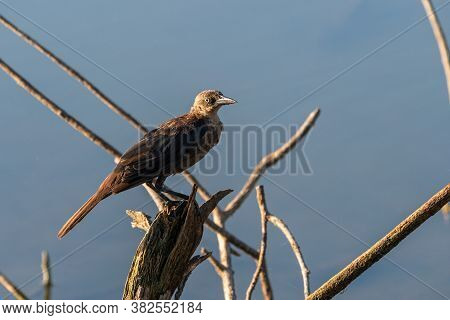 Juvenile Common Grackle Perched On A Dead Tree Stump Overlooking A Lake With The Morning Sunlight Sh