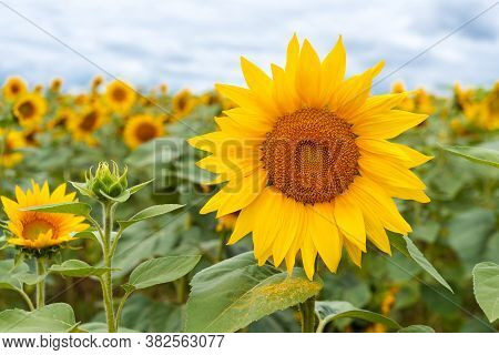 Field Of Sunflowers. Large Common Sunflowers, Landscape From A Sunflower Farm. Orange Beautiful Flow