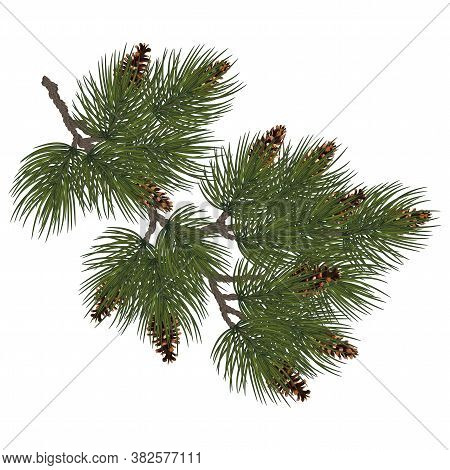 Fir Branch. Christmas Tree, Pine Sprig, Conifer With Cone. Lush Fir Branch .holiday Green Decoration