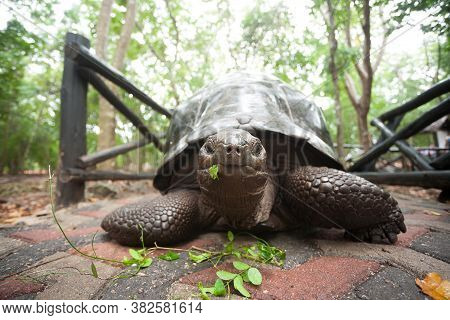 Aldabra Giant Tortoise From Zanzibar Conservation Area, Tanzania. African Wildlife