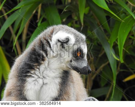 A Cute Ring Tailed Lemur In Profile