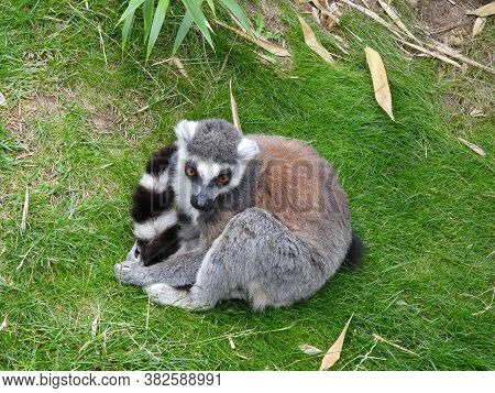 Ring-tailed Lemur Curled Up In The Grass