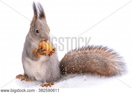 The Squirrel Sits On White Snow With Nut In Winter, Isolated On White Background. Eurasian Red Squir